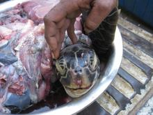 A dead hawksbill turtle sold for meat