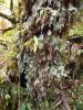 Mossy trunks - a common feature of the high altitude cloud forest